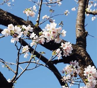来週には満開を迎える見込みという玉縄桜の原木(2月17日撮影)