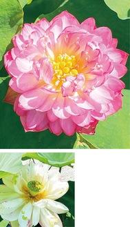 ピンクに色づく「紫玉蓮」(上)、白に紅の斑点がある「咲き分け」=同園提供
