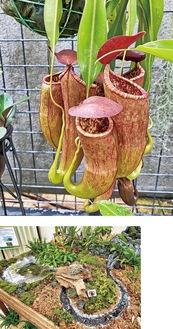 落とし穴の要領で虫を捕まえるウツボカズラ(上)、食虫植物のジオラマ