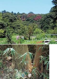 枯れた樹木(上)とフラスが堆積した根元(共に鎌倉広町緑地)=市提供