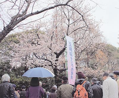 早咲きの「玉縄桜」
