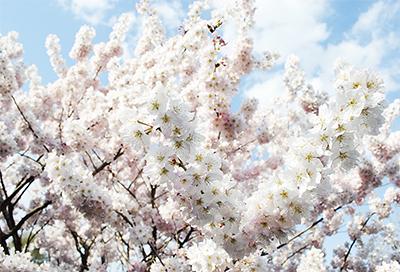 鎌倉の桜 まもなく開花