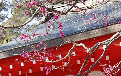 紅梅開き、春間近に