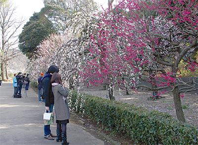 玉縄桜と梅の共演