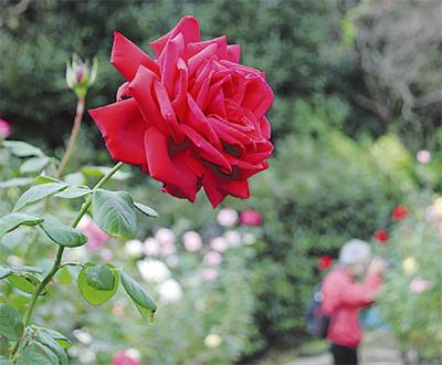 バラの庭園で各種催し