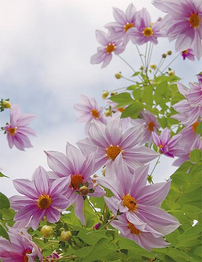 頭上高く薄紫の花