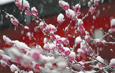寒紅梅も雪化粧