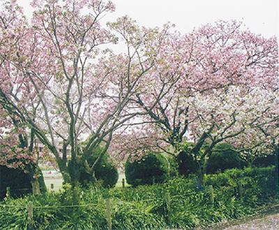 京都に植えられた「鎌倉桜」