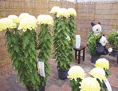 菊花作品を展示
