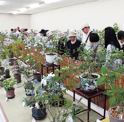 200種のアジサイ展示