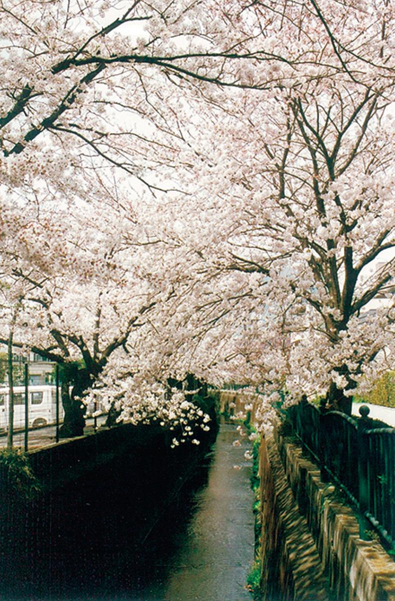 砂押川沿いで桜愛でる