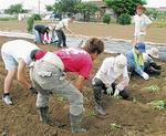 サツマイモを植え付ける参加者