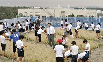 屋上に作られた田んぼで稲刈りを行う児童たち