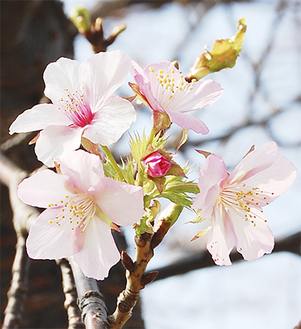 数十輪の花が咲いている(10月31日撮影)