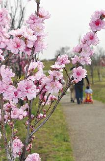 ピンク・白・赤のハナモモ100本が見頃(3月23日撮影)