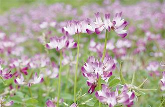 田んぼにピンク色の花が咲く(4月22日撮影)