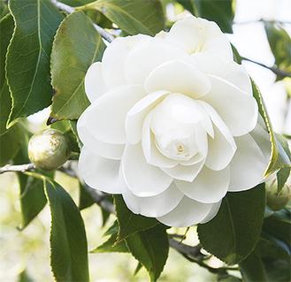 開花し始めた椿(2月22日撮影)