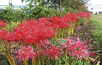 5000本以上の花が咲き誇る(写真は過去)