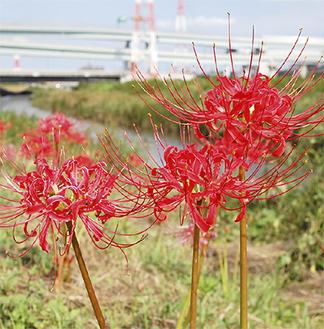 開花し始めた曼珠沙華=9月14日・小出川沿い萩園橋上流