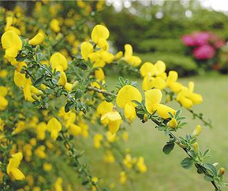 館内の庭に咲く黄色のエニシダ(4月18日撮影)