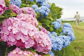 ピンクや青など色とりどりの花が咲く(6月6日撮影)
