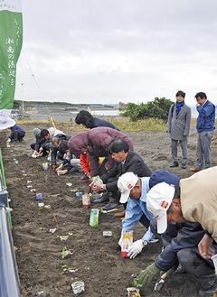 砂地の苗床に海浜植物を植えていく