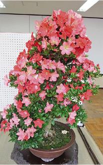 鮮やかな桃色のさつき盆栽