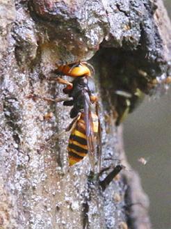 樹液をなめるオオスズメバチ(県立茅ケ崎里山公園提供)