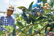 ブルーベリー収穫シーズン