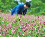 畑一面、ピンク色に