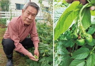 ジャガイモを育てる土橋さん(左)とジャガイモの実(右・提供)