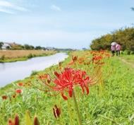 小出川沿いに早めの彼岸花