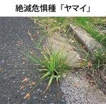 カヤツリグサ科の多年草で高さは60cm以下。日当たりのよい湿地などに生え7〜10月に穂を出す