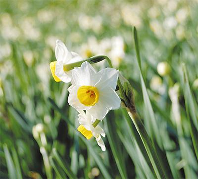 里山で水仙が開花