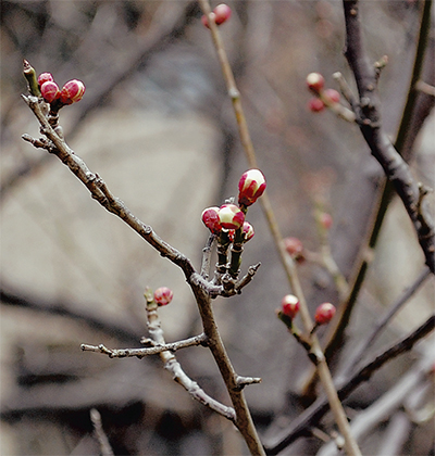春を告げる梅まつり