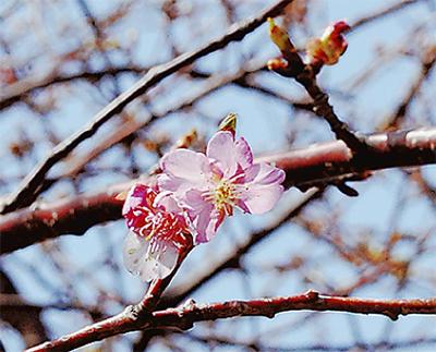 遅咲き桜で春到来