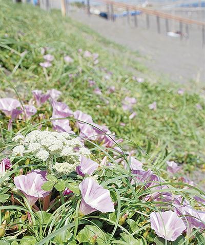 可憐なハマヒルガオ開花