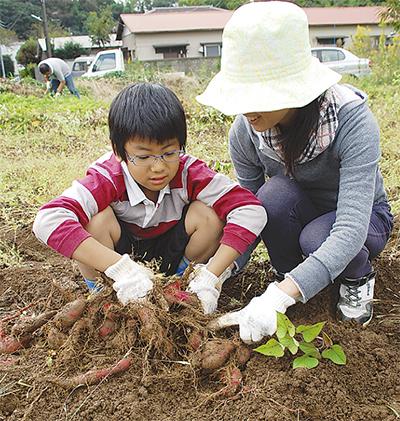 親子でサツマイモ収穫