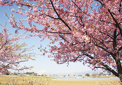 萩園橋上流で桜まつり