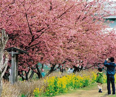 小出川で河津桜楽しんで