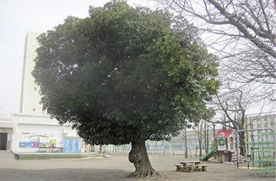 「シンボルツリーを後世に」