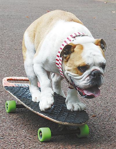 「スケボー犬」ギネス挑戦