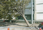 台風で倒れ根が浮き上がった(9月撮影)