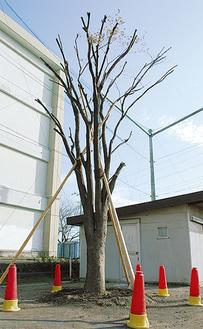 再生した開校記念樹のケヤキ
