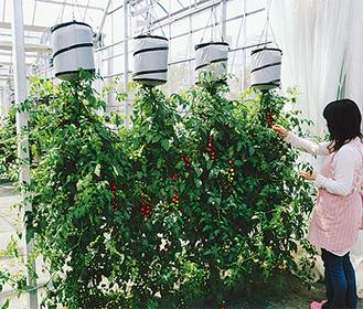 空中栽培のミニトマトで出来たグリーンカーテン