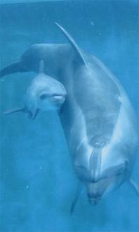母親の「シリアス」にぴったりと寄り添って泳ぐ赤ちゃんイルカ(写真提供/新江ノ島水族館)