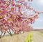 河津桜を楽しんで