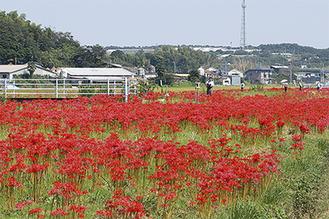 数百万株の彼岸花が咲き誇る(2014年撮影)