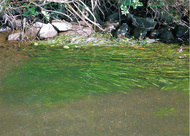 目久尻川に外来種の藻