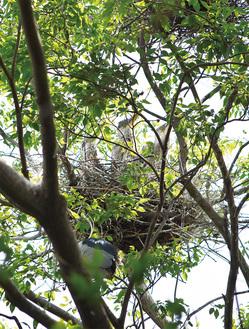 高さ20mほどの巣で鳴くアオサギの幼鳥